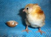 Ethical Chick Hatching Stage Eight